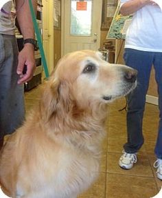 Naples Fl Golden Retriever Meet Monti 583 A Dog For Adoption