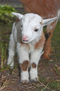 Cute Kid Goat. Shop Baby Products: http://canus-goats-milk.myshopify.com/collections/lilgoats
