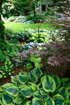 Shade plants including Flavocircinalis Hosta (bottom), japanese maple