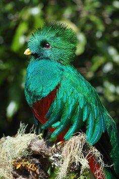 Spectacular male Resplendent Quetzal found in the forests of Central America!