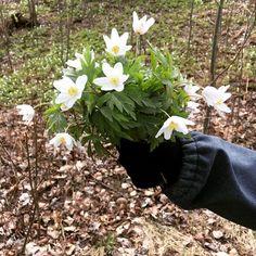 """""""Anteeksi äiti kun vaivaan mutta pyllysi näkyy"""" varoitti huomaavainen 5-vuotias poimiessamme kukkasia kotimatkan varrella. #valkovuokko #valkovuokkoja #metsäkukkii #metsässä #metsäretki #ulkoilua #kevät #spring"""