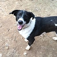 Acworth Ga Zack A Border Collie For Adoption Who Needs A Loving Home American Pitbull Terrier Border Collie Pitbull Terrier