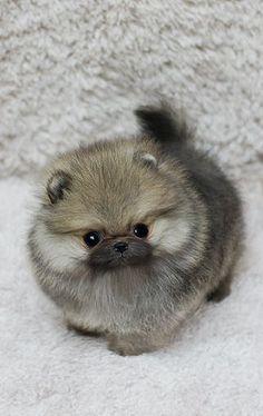 pomeranian puppy                                                                                                                                                                                 More