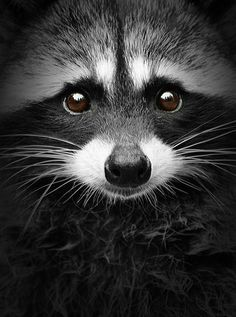 Bandit (Raccoon) --- photo by Shane Kalyn Element Photos). Animals And Pets, Baby Animals, Funny Animals, Cute Animals, Wild Animals, Spring Animals, Small Animals, Forest Animals, Cute Raccoon