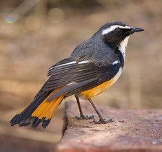 White-throated Robin-Chat, Cossypha humeralis
