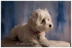 Gretchen, maltipoo Animal Photography, Family Photography, Maltipoo Dog, True Friends, Yahoo Images, I Love Dogs, Image Search, Pets, Moose