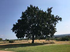 il piu bello albero.... di Alberobello... Trulli paparale