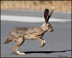 I actually experienced standing with a jack rabbit while hitch hiking the highway in the states. It stood almost as tall as me. I had been sticking my thumb out for a couple hours when he popped up beside me. We stood together about 5min. he tore across the highway when the traffic cleared for a brief second. within a few minutes a truck pulled over and gave us a ride North for two days!!