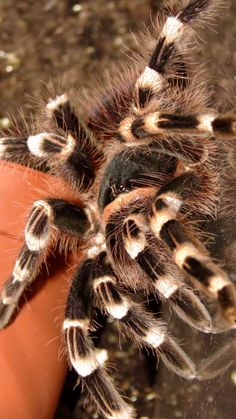 My Brazilian white knee tarantula