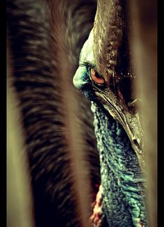Cassowary by byJosh, via Flickr - these birds will disembowel you if you even LOOK at them funny. Pretty sure you're looking at him funny...