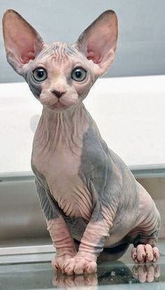 The Sphynx cat is a breed of cat known for its lack of coat (fur). The Sphynx was developed through Sphynx Kittens For Sale, Kitten For Sale, Cute Kittens, Cats And Kittens, Hairless Cats, Ragdoll Cats, Pretty Cats, Beautiful Cats, Cutest Animals