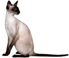 Modern Seal Point Siamese: the very definition of elegance and grace!