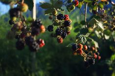 Find images of Blackberry. Free Pictures, Free Images, Botanical Illustration, Blackberry, Find Image, Plants, Instagram, Gardening, Drink
