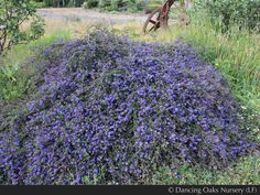 """Ceanothus """"Centennial"""" - AKA California Lilac, these come in many different forms.  This one is an evergreen groundcover.  This is a CA Native, drought tolerant, & deer resistant."""