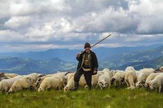 Znalezione obrazy dla zapytania dojenie owiec