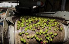 After the olives are collected, they are sorted and processed.