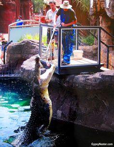 Bucket list item: Feed crocodiles in Australia! See more: http://www.gypsynester.com/feeding-crocs.htm #travel  #Australia