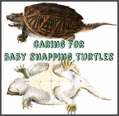 How to Care for Baby Snapping Turtles