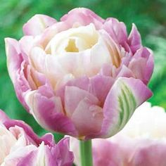 Sweet Desire Tulip - Soft purple and white flowers, light green streaks. Peony-flowering tulips are noted for their large double flowers that resemble old-fashioned peonies. You'll love the layers of delicate petals and incredible colors of these tulips. Stunning as cut flowers and as a delightful display tulip in the garden.