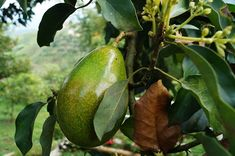 Do you want your own avocado plant? With only one avocado core, the . - Do you want your own avocado plant? The adventure begins with just one avocado core. You can find o - Organic Vegetables, Growing Vegetables, Mini Plantas, Avocado Leaves, Avocado Tree Care, Growing An Avocado Tree, Avocado Dessert, Avocado Health Benefits, Avocado Salat