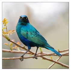 Greater Blue-eared Glossy-starling ... Sometimes I get overwhelmed by the beauty of birds.