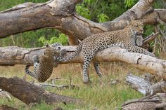 Leopard cub playing with mom's tail