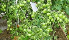 Gardening, Tomatoes, Plant, Lawn And Garden, Horticulture