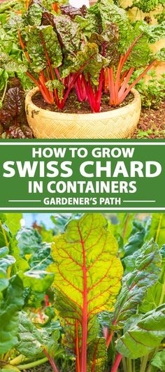 Want to be able to grow nutritious food in a small space? Check out Swiss chard. You can grow it in containers as a microgreen or allow it to mature for a nutritious addition to sautes and soups, whether you have an apartment balcony, raised planters, or a sunny spot by your window. #vegetablegarden #chard #gardenerspath Home Grown Vegetables, Organic Vegetables, Growing Vegetables, Vegetable Garden Tips, Container Gardening Vegetables, Gardening For Beginners, Gardening Tips, Growing Swiss Chard, Backyard Farmer