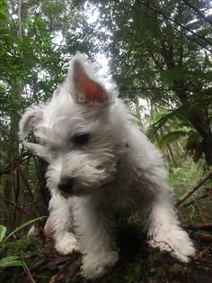 Westie Puppies, Westies, Cute Puppies, Dog Things, Cute Cats And Dogs, West Highland Terrier, White Terrier, Pretty Baby, Terrier Dogs