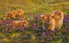 Wallpaper Desktop Background Cow  (16)