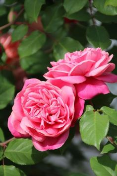 Tea Rose: Rosa 'Archiduc Joseph' (France, 1892) as sold in the U.S. and Oz is what Europeans call 'Monsieur Tillier', and vice versa.