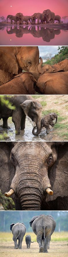 In honor of here are photos of elephants in all their majesty World Elephant Day, Elephants Photos, Wildlife Conservation, Endangered Species, Zebras, Continents, Daily Inspiration, Beautiful Creatures, Beautiful Things