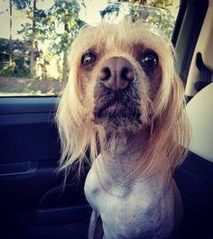 """Darby & Jello on Instagram: """"Co-Pilot! ☆☆☆ #womansbestfriend #darbydog #lifeisbetternekkid #travelwithdogs #doggo #doglife #pupper #pnwdogs #seattledogs #chinesecrested…"""" Jello, Dog Life, Pilot, Best Friends, Dogs, Animals, Instagram, Gelatin, Beat Friends"""