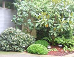 ■ At the Rhododendron Species Botanic Garden (left), the large leaves of Rhododendron kesangiae (center) give dramatic contrast to the tiny leaves of Rhododendron keiskei 'Yaku Fairy,' the two low mounds below it (left of center). photo/PHIL WOOD