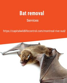 Capital Wildlife Control South Shore are professionals in animal pest management, including bat removal in Beloeil, Boucherville, Brossard and Longueuil. All Bat, Pest Management, Warm Blooded, How To Remove, Sang, Caves, Buildings, Commercial, Health