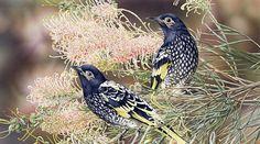 Regent-Honeyeaters-and-Grevillea.  Heidi Willis   Watercolor