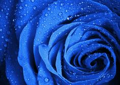Blue #Rose #Flower With Water Droplets #poster  #tshirt #printmeposter #nature