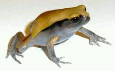 Baby tomatoe frog need mine back
