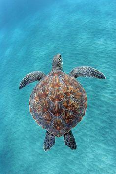 (Hawaiian Green Sea Turtle) sea life, animals, ocean, ocean life, aquatic animals, marine biology, water, under water life
