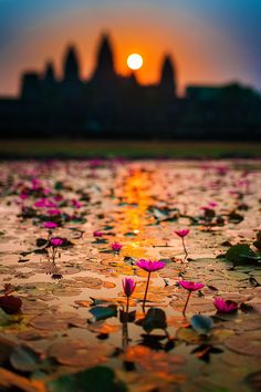 Cambodia.  Lotus flowers bloom as sun rises over Angkor Wat.
