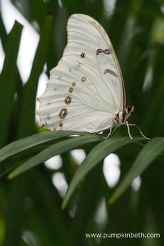 The White Morpho Butterfly, also known by its scientific name of Morpho polyphemus, originates from Mexico and Central America, its pictured here inside the Butterfly Dome, at the RHS Hampton Court Palace Flower Show 2017.