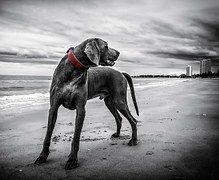 Weimaraner, Strand, Thailand, Hund