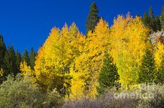 A fine autumn shot of some peaked aspens in the Rock Creek Lake area of the Eastern Sierra Nevadas.