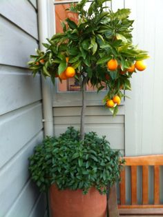 A great idea: Potted orange tree with mint. It's amazing that you can grow a fruit-bearing tree in a pot. Lemons would probably work too! outdoor potted trees, growing plants in pots, pot orang, orang tree, gardens with pot planted trees, mint, orange tree, potted lemon tree, fruit trees in pots