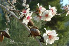 Alles rund um die Mandelblüte auf Mallorca