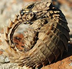 These amazing lizards have such a powerful bite that they can accidently break their own jaw by the time they reach adulthood. This tough armored lizard lives under rocks, and in cracks in the ground. When it comes out to hunt, it is usually for bugs and spiders.