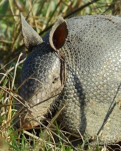 Armadillo by Morning - We wondered what was clawing up the yard. Yep, armadillos!