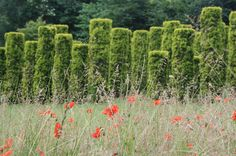 Meadow of poppies, forget-me-not and other wild flowers in front of yew pillars at Les Jardins de Séricourt in Séricourt, France