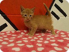 Rome, GA - Domestic Shorthair. Meet 14C-0195 (4/4) a Kitten for Adoption.