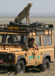 Serengeti Cheetah as long as it aint starving then your safe to let low the windows